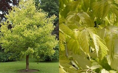 1X 7Ft Extra Large Acer Kellys Gold Tree Maple - Beautiful Golden Leaf - 7.5L