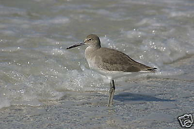 """Fabulous Photograph Of A Willet Sandpiper Matted 14""""x11"""
