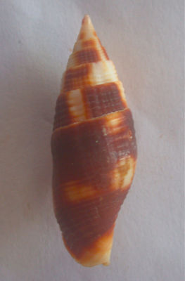 seashell Mitra chrysostoma 37/38mm Gem/F+++