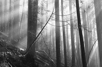 Old Forest-Wall Mural-12'wide by 8'high-(Blk&Wht)