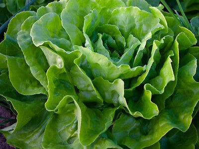 "100 Seeds Lettuce "" All Year Roud Lettuce "" Butterhead Lettuce , Lactuca Sativa"