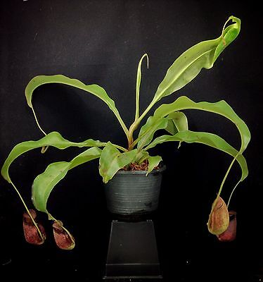 "nep342 Nepenthes mirabilis ""Spotted"" X bicalcarata ,Fanged Pitcher, trap plant"