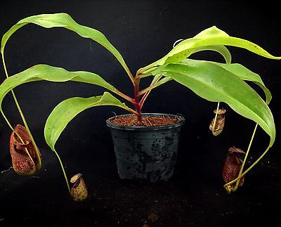 nep340 Nepenthes bicalcarata X mirabilis Spotted , pitcher plants, growing traps
