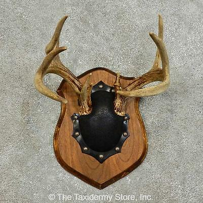 #15985 E | Whitetail Deer Antler Plaque Taxidermy Mount For Sale