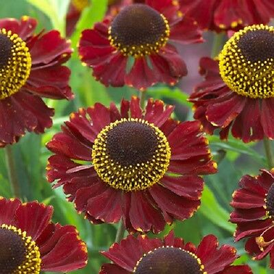 Helenium Ruby Tuesday in  9cm pot
