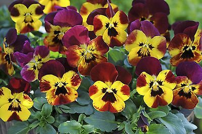 40 Winter Flowering Viola F1 Select  Fire  Bedding Patio Plug plants