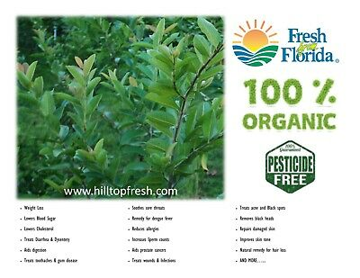 40 - fresh guava leaves - ORGANIC - Ships world wide -Grown in Florida, USA