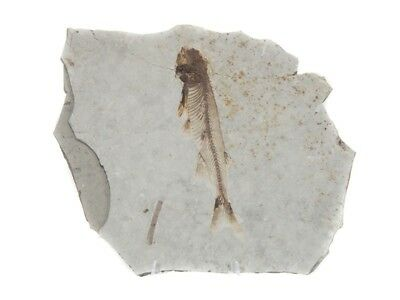 Lycoptera Fossil
