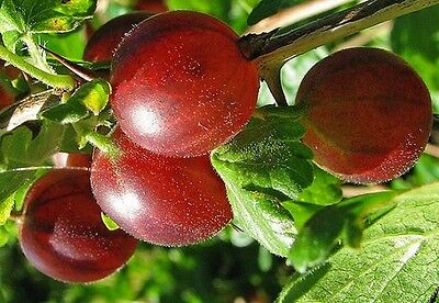3X 2-3Ft Large Hinnonmaki Red Gooseberry Bushes - Fruit Plants Multi Branched