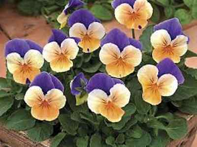40 Winter Flowering Viola F1 Select Peach Jump Up  Bedding Patio Plug plants