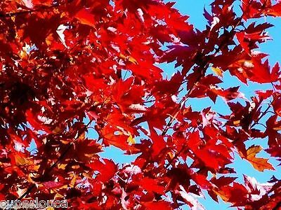 Red Maple Tree Sugar 25 Seed Canada Acer Grow Fast Érable Sucre Combine Ship Gif