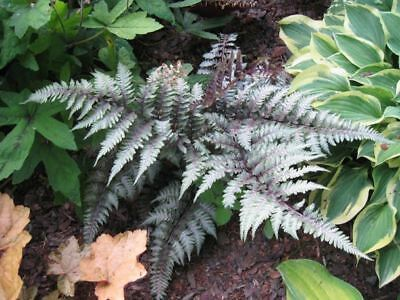 Athyrium nipponicum Red Beauty - Japanese Painted Fern, Plant in 9cm Pot