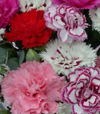 6 Dianthus Mixed Collection  Hardy Garden Pinks  Alpine Perennial Plug Plants