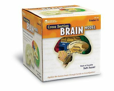 Learning Resources Cross Section Human Brain Model New