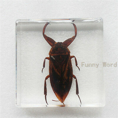 Giant Water Bug (Lethocerus deyrollei) Insect Specimen in Square Lucite Blocks