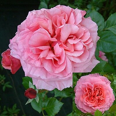 Rose Aloha Climbing rose offered bareroot