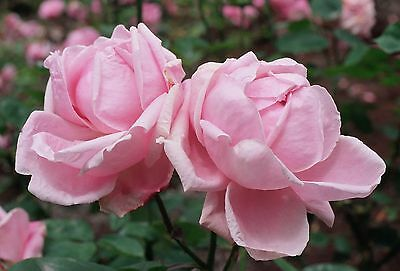 Rose Madame Caroline Testout Climbing rose offered bareroot