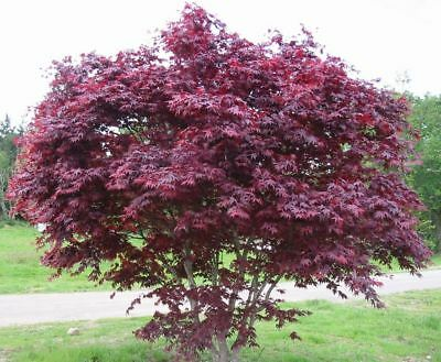 Acer palmatum Bloodgood - Red Leaf Maple, Grafted Plant in 9cm Pot