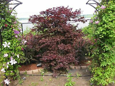 Acer palmatum Fireglow - Red Leaf Maple, Grafted Plant in 9cm Pot
