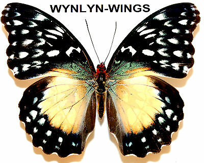 Insect Butterfly Moth Nymphalidae Cymothoe beckeri-FEMALE No. 1