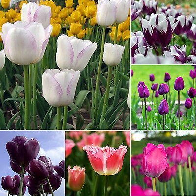Be Hot Beauty Rare Rainbow Tulip Flower Bulbs Seeds Perennials Spring Bloom New