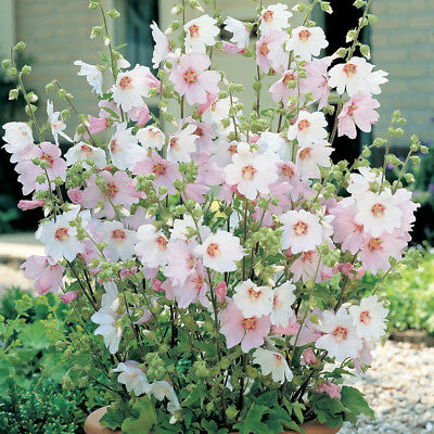 """Lavatera x clementii Barnsley - Mallow - Plant in 3.5"""" Pot"""