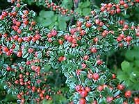 "Cotoneaster horizontalis - Plant in 3.5"" Pot"