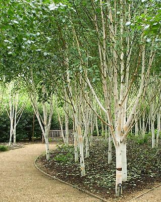 "Betula utilis Jaquemontii - Silver Birch, Grafted Plant in 3.5"" Pot"