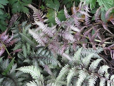 Athyrium nipponicum Red Beauty-Japanese Painted Fern Plant in 3.5 '' pot