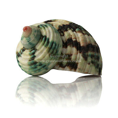 Turbo Green Large Seahell 4-6cm for craft projects, aquariums or hermit crabs