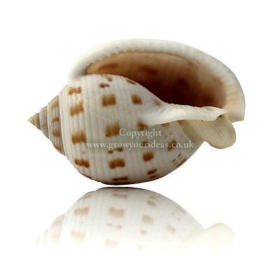 Bonnet Shell Large 3-5cm Seashell for craft projects, aquariums or weddings