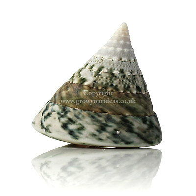 Troca Green Large 5-7cm Seashell for crafts, aquariums, hermit crab or weddings