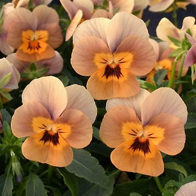 40 Winter Flowering Viola F1 Select  Terracotta Bedding Patio Plug plants