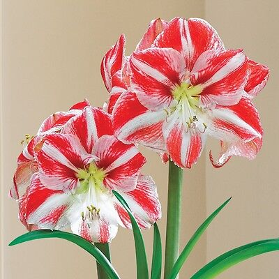 Hippeastrums Mixed Colours (amaryllis - hippeastrum) 10 Reliable Viable Seeds
