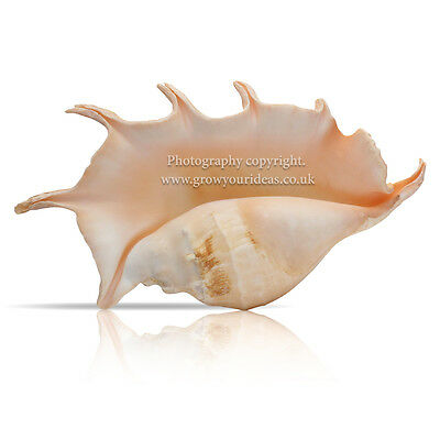 Giant Spider Conch Giant Sea Shell 25-30cm for aquarium, crafts or garden