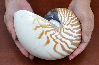 "Striped Chambered Pearl Nautilus Sea Shell Beach Decor 5"" - 6"" #7084"