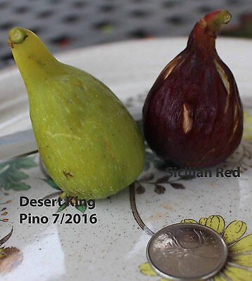 Fig Trees (large Canada only) you choose variety