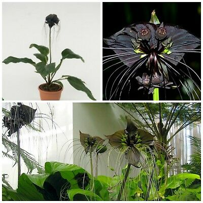 50 seeds of Tacca chantrieri,Bat Plant or Devil Flower, C