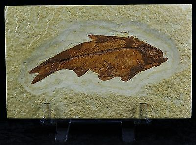 Knightia Eocaena Fossil Fish Green River Wy Eocene Age 3 3/4 Inches Free Stand