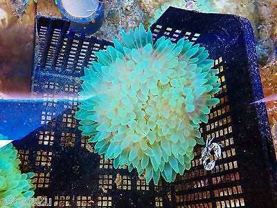 Green Bubble tip Anemone with Yellow foot Coral Marine Reef not Frag Stunning,