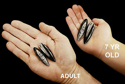 """Orthoceras Fossils 2"""" Healing Crystals Root Chakra Reiki Metaphysical Stone"""