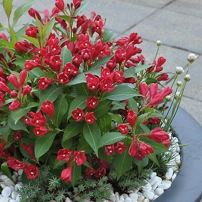 Weigela All Summer Red in a 9cm pot exceptional flowering