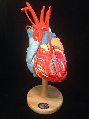 Denoyer Geppert - A49 Giant Human Heart of America Plus Anatomical Model (A 49)