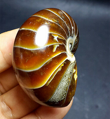 61g  AWESOME nautilus Fossils Natural ammonite Specimen from Madagascar  G40