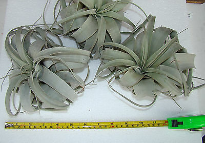 Tillandsia xerographica Medium Air Plant Bromeliad Tropical House Plant