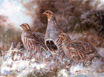 English Partridges in snow, Christmas cards pack of 10 by John Trickett. C415X