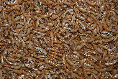 FMF Gammarus Shrimp Suitable For Koi Carp Fish 5ltr Tub Approx 700g