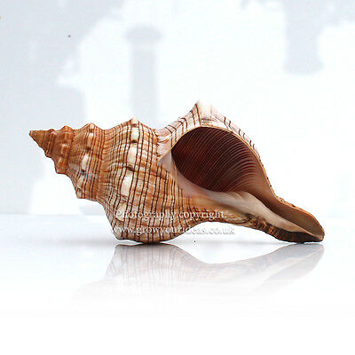 Foxhead Giant Sea Shell 12.5cm -15cm Seashell for aquariums, crafts, or weddings
