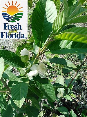 5 -fresh guava leaves -ORGANIC - FREE Shipping world wide -Limited Time Offer