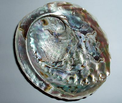 """Natural Abalone Shell (Rough Exterior) Mother of Pearl Sea-Shells 5&1/2"""""""